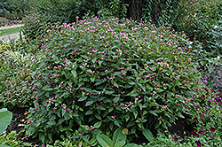 Pink Turtlehead (Chelone obliqua) at Bloomers Garden Center & Landscaping
