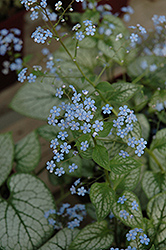 Jack Frost Bugloss (Brunnera macrophylla 'Jack Frost') at Bloomers Garden Center & Landscaping