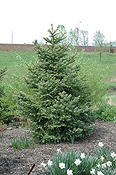 Meyer's Blue Spruce (Picea meyeri) at Bloomers Garden Center & Landscaping