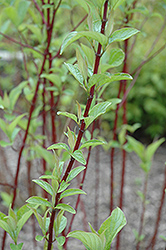 Alleman's Compact Dogwood (Cornus sericea 'Alleman's Compact') at Bloomers Garden Center & Landscaping