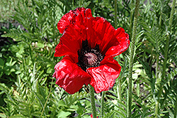 Beauty of Livermere Poppy (Papaver orientale 'Beauty of Livermere') at Bloomers Garden Center & Landscaping