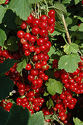 Red Lake Red Currant (Ribes sativum 'Red Lake') at Bloomers Garden Center & Landscaping
