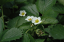 Everbearing Strawberry (Fragaria 'Everbearing') at Bloomers Garden Center & Landscaping