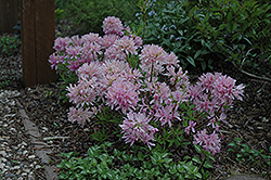 Orchid Lights Azalea (Rhododendron 'Orchid Lights') at Bloomers Garden Center & Landscaping