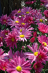 Dark Pink Daisy Chrysanthemum (Chrysanthemum 'Dark Pink Daisy') at Bloomers Garden Center & Landscaping