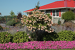 Tree Form Pee Gee Hydrangea (Hydrangea paniculata 'Grandiflora (tree form)') at Bloomers Garden Center & Landscaping