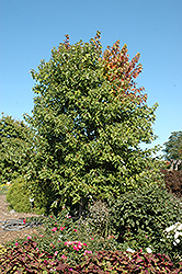 Sienna Glen Maple (Acer x freemanii 'Sienna') at Bloomers Garden Center & Landscaping