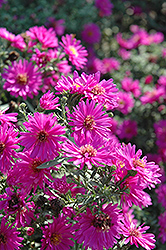 Alert Aster (Aster novi-belgii 'Alert') at Bloomers Garden Center & Landscaping