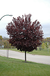 Canada Red Select Chokecherry (Prunus virginiana 'Canada Red Select') at Bloomers Garden Center & Landscaping