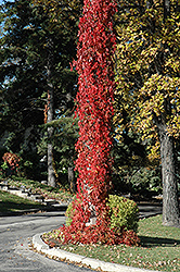 Virginia Creeper (Parthenocissus quinquefolia) at Bloomers Garden Center & Landscaping