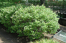 Jim Dandy Winterberry (Ilex verticillata 'Jim Dandy') at Bloomers Garden Center & Landscaping