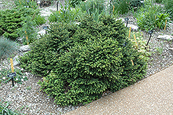Pumila Norway Spruce (Picea abies 'Pumila') at Bloomers Garden Center & Landscaping