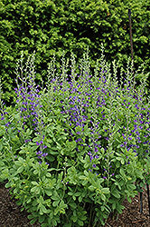 Blue Wild Indigo (Baptisia australis) at Bloomers Garden Center & Landscaping