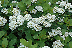 Birchleaf Spirea (Spiraea betulifolia) at Bloomers Garden Center & Landscaping