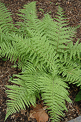 Tatting Fern (Athyrium filix-femina 'Frizelliae') at Bloomers Garden Center & Landscaping