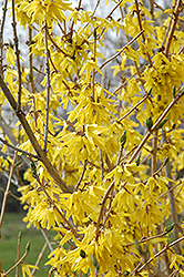 Northern Gold Forsythia (Forsythia 'Northern Gold') at Bloomers Garden Center & Landscaping