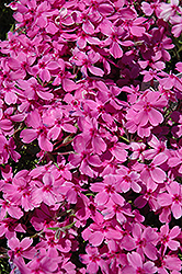 Red Wings Moss Phlox (Phlox subulata 'Red Wings') at Bloomers Garden Center & Landscaping