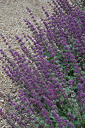 Purple Rain Salvia (Salvia verticillata 'Purple Rain') at Bloomers Garden Center & Landscaping