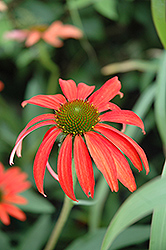 Tomato Soup Coneflower (Echinacea 'Tomato Soup') at Bloomers Garden Center & Landscaping
