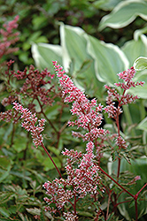 Key Largo Astilbe (Astilbe simplicifolia 'Key Largo') at Bloomers Garden Center & Landscaping