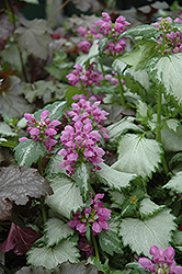 Ghost Spotted Dead Nettle (Lamium maculatum 'Ghost') at Bloomers Garden Center & Landscaping