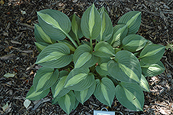 Striptease Hosta (Hosta 'Striptease') at Bloomers Garden Center & Landscaping
