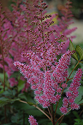 Maggie Daley Astilbe (Astilbe chinensis 'Maggie Daley') at Bloomers Garden Center & Landscaping
