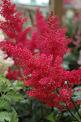 Montgomery Japanese Astilbe (Astilbe japonica 'Montgomery') at Bloomers Garden Center & Landscaping