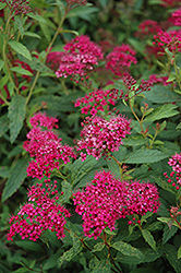 Neon Flash Spirea (Spiraea japonica 'Neon Flash') at Bloomers Garden Center & Landscaping