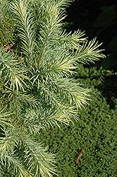Wolterdingen Japanese Larch (Larix kaempferi 'Wolterdingen') at Bloomers Garden Center & Landscaping