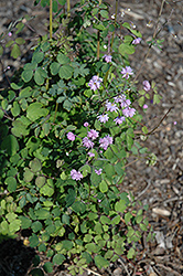Hewitt's Double Meadow Rue (Thalictrum delavayi 'Hewitt's Double') at Bloomers Garden Center & Landscaping