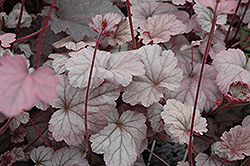 Stainless Steel Coral Bells (Heuchera 'Stainless Steel') at Bloomers Garden Center & Landscaping