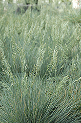 Elijah Blue Fescue (Festuca glauca 'Elijah Blue') at Bloomers Garden Center & Landscaping