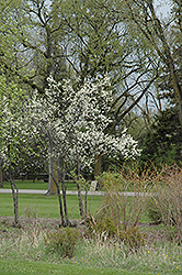 Toka Plum (Prunus 'Toka') at Bloomers Garden Center & Landscaping