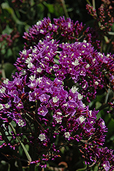 Wavy Leafed Sea Lavender (Limonium sinuatum) at Bloomers Garden Center & Landscaping