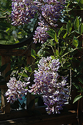 Summer Cascade™ Wisteria (Wisteria macrostachya 'Betty Matthews') at Bloomers Garden Center & Landscaping