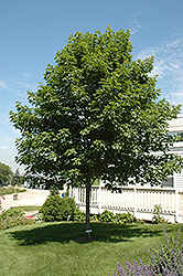 Fall Fiesta Sugar Maple (Acer saccharum 'Bailsta') at Bloomers Garden Center & Landscaping
