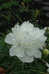 Gardenia Peony (Paeonia 'Gardenia') at Bloomers Garden Center & Landscaping