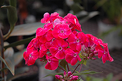 Party Punch Garden Phlox (Phlox paniculata 'Party Punch') at Bloomers Garden Center & Landscaping