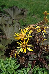 Osiris Cafe Noir Rayflower (Ligularia 'Osiris Cafe Noir') at Bloomers Garden Center & Landscaping