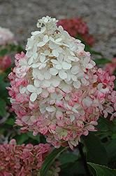 Vanilla Strawberry™ Hydrangea (Hydrangea paniculata 'Renhy') at Bloomers Garden Center & Landscaping