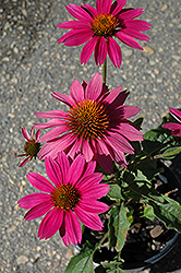PowWow Wild Berry Coneflower (Echinacea purpurea 'PowWow Wild Berry') at Bloomers Garden Center & Landscaping