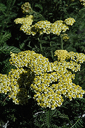 Sunny Seduction Yarrow (Achillea millefolium 'Sunny Seduction') at Bloomers Garden Center & Landscaping