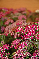 New Vintage Violet Yarrow (Achillea millefolium 'Balvinolet') at Bloomers Garden Center & Landscaping