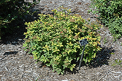 Double Play® Big Bang™ Spirea (Spiraea 'Tracy') at Bloomers Garden Center & Landscaping