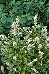 Hummingbird Summersweet (Clethra alnifolia 'Hummingbird') at Bloomers Garden Center & Landscaping