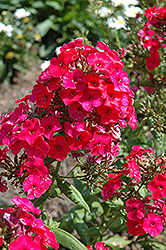 Red Flame Garden Phlox (Phlox paniculata 'Red Flame') at Bloomers Garden Center & Landscaping