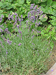 Lavendin (Lavandula x intermedia) at Bloomers Garden Center & Landscaping