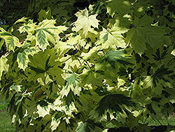 Variegated Norway Maple (Acer platanoides 'Variegatum') at Bloomers Garden Center & Landscaping