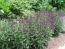 Caradonna Sage (Salvia x sylvestris 'Caradonna') at Bloomers Garden Center & Landscaping